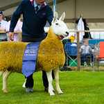 Border Leicester champion a 2 shear ewe from Mr David and Ian Walker.